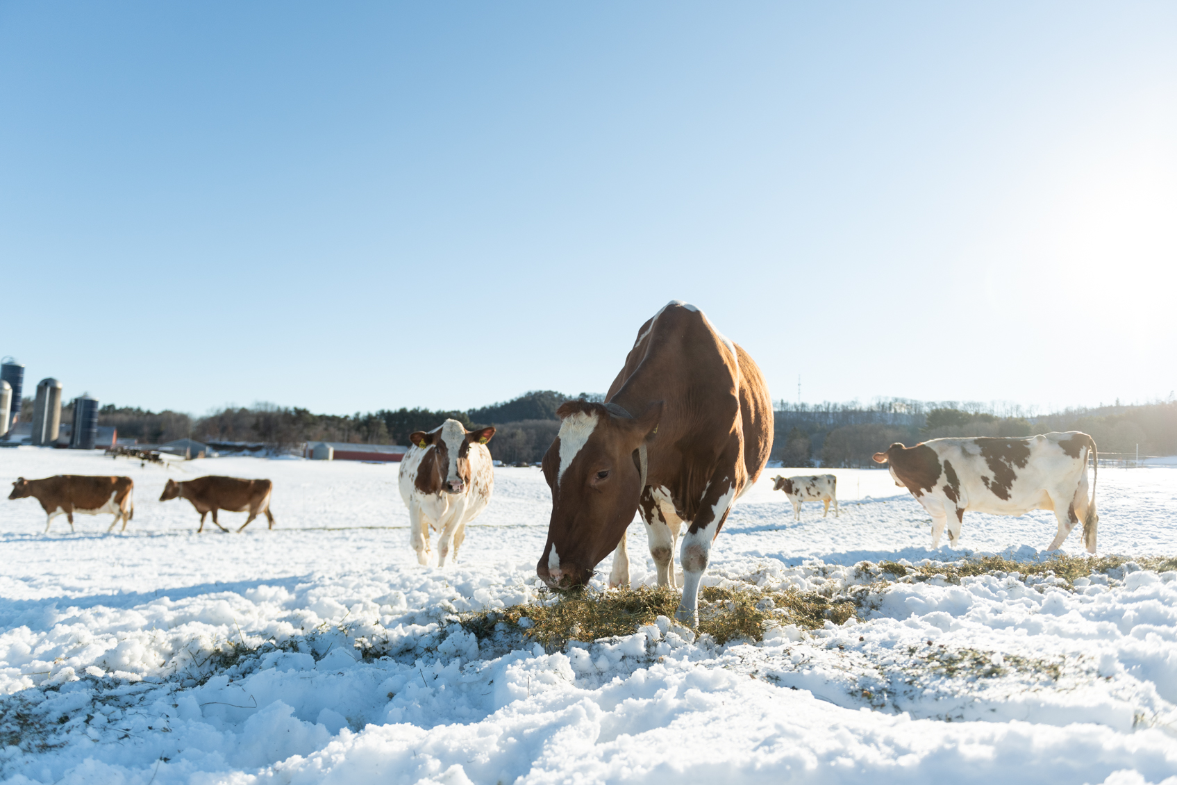 Cows eating forage grass outside on a snow covered pasture.