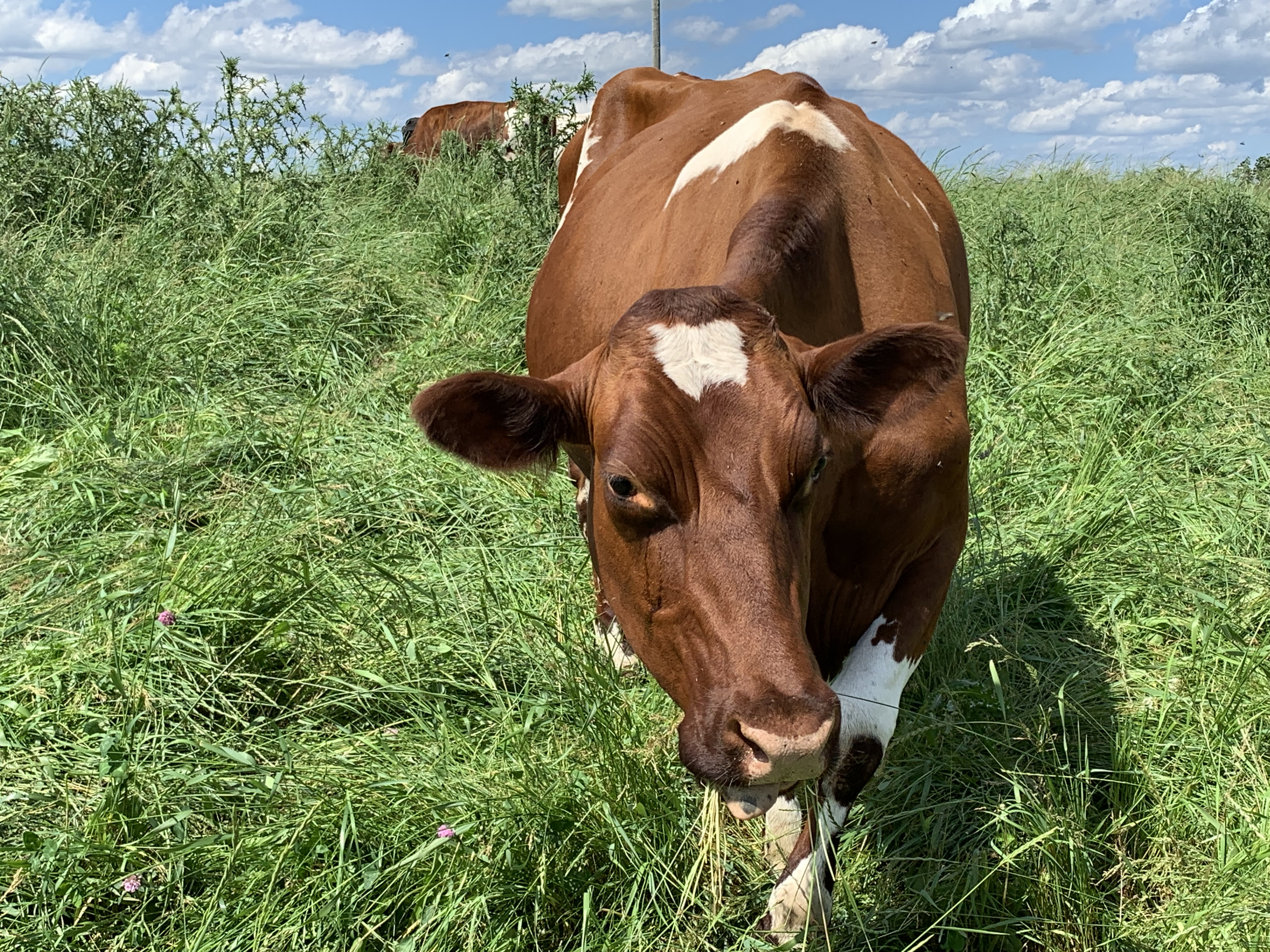 A brown cow with white markings walked through long green grass to examine the photographer.