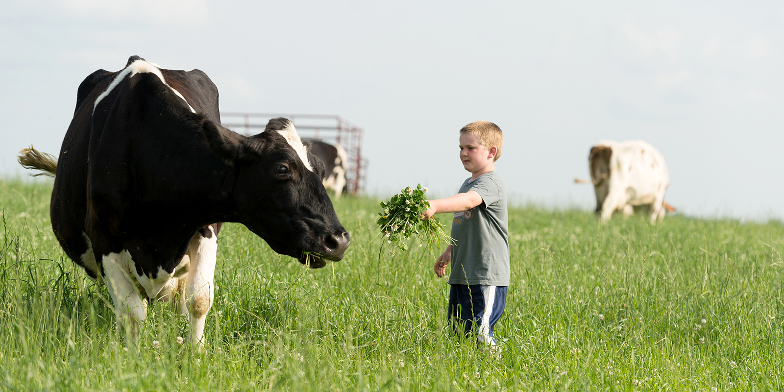 Trent Gretebeck offers one of their certified grass-fed dairy cows a tasty handful of grasses.
