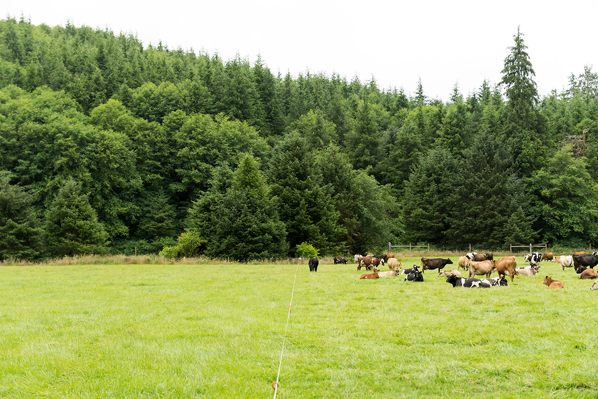 Some cows browse pasture while others take a rest.