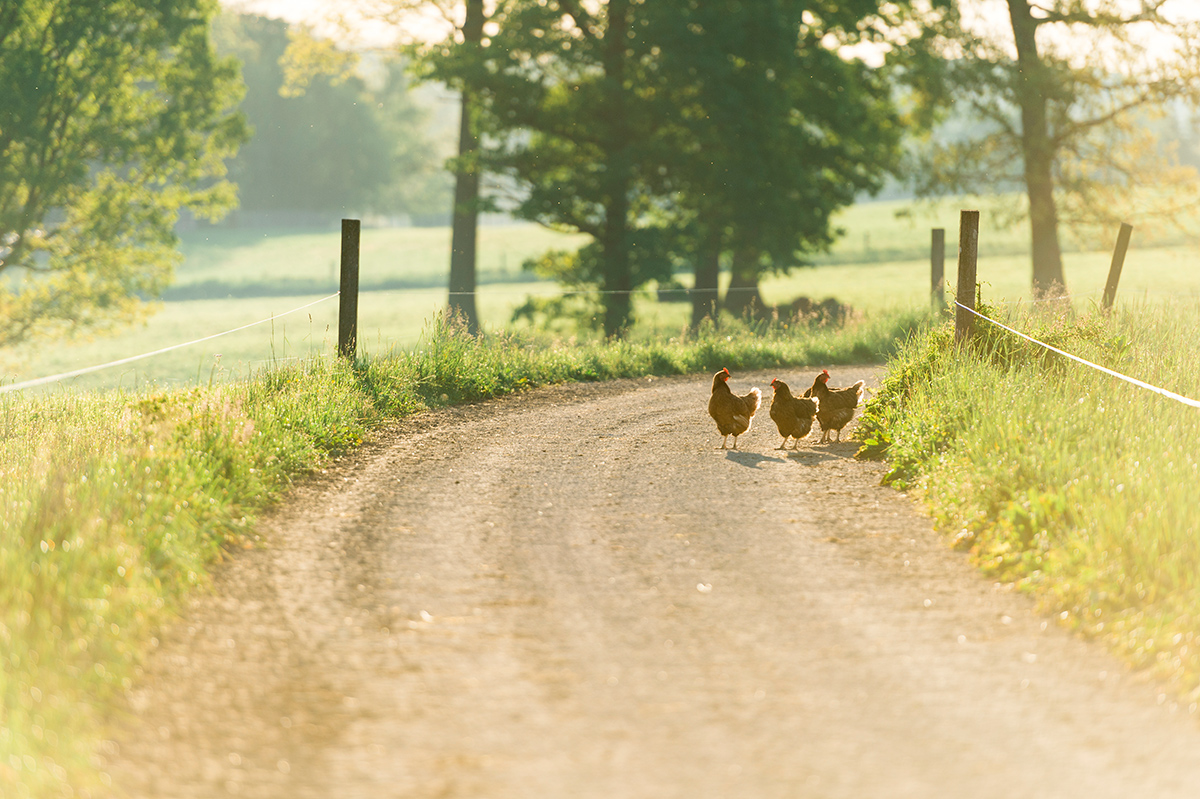 Three chickens on a dirt road on the Stoltzfoos farm in PA.