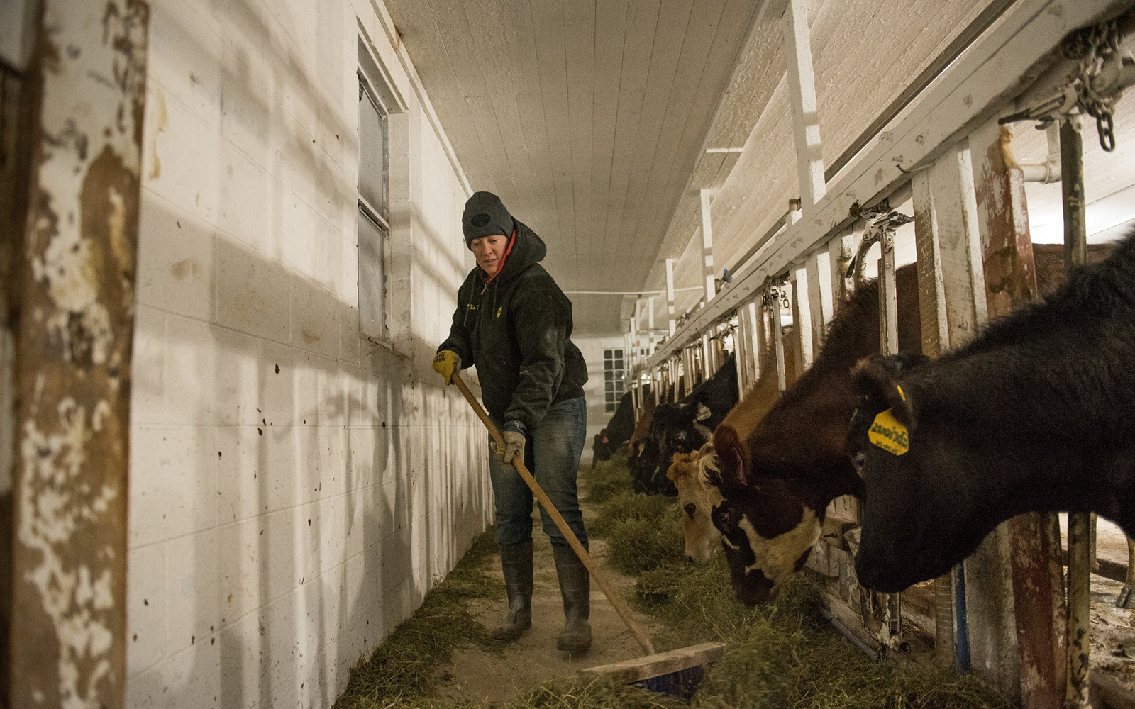 Amy Koenig gives her cows some hay during milking.