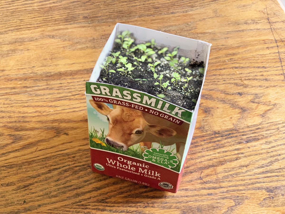 Green sprouts growing out of an Organic Valley Grassmilk carton.