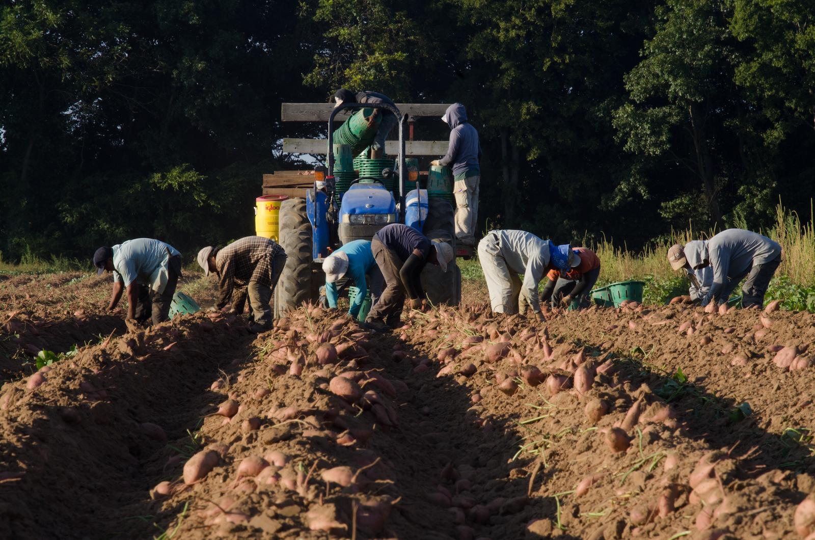 Migrant workers harvesting sweet potatoes in field