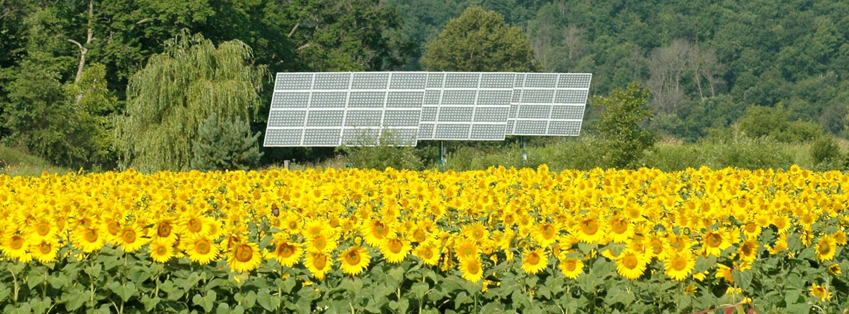 A field of sunflowers with three solar panels in the background.