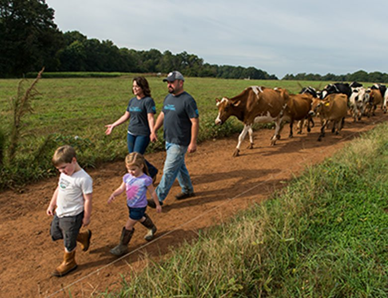 Organic Valley farmer-members (two children and two adults) walking on a trail with a herd of cows following them.